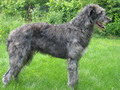 Deerhound 1